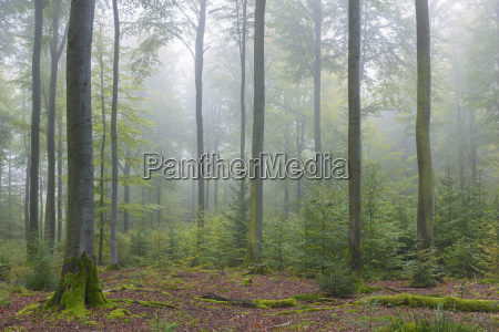beech forest on misty morning in