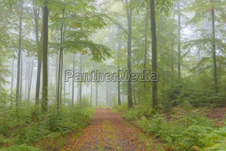 path in beech forest on misty