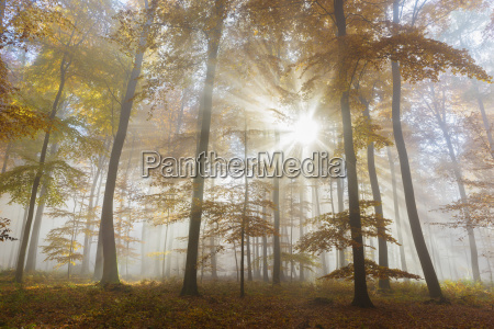 sunbeams in european beech fagus sylvatica