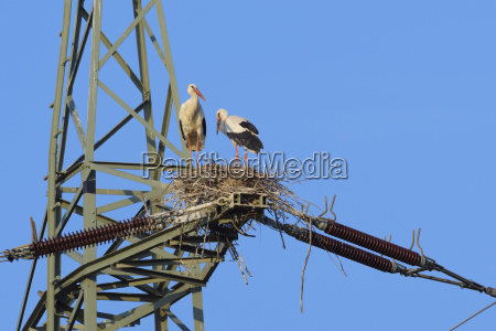 two white storks ciconia ciconia standing