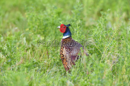 portrait of a ring necked pheasant