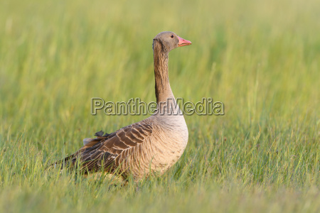 profile portrait of a greylag goose