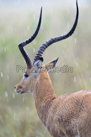 animal africa quenia animais masculino vistas