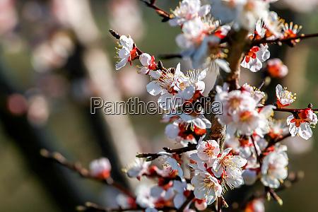 flores de arvore de damasco na