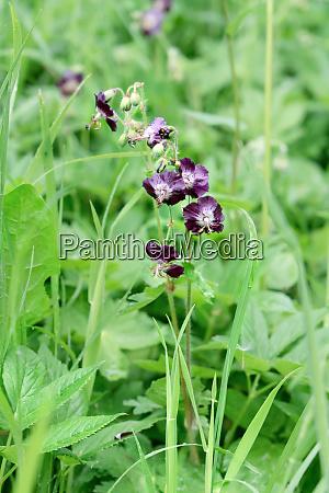 columbine, violeta, selvagem - 26142344