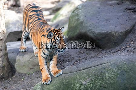 tigre de sumatran sumatrae do tigris