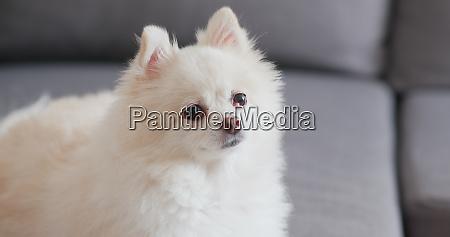 cachorro pomerania branco sentado no sofa