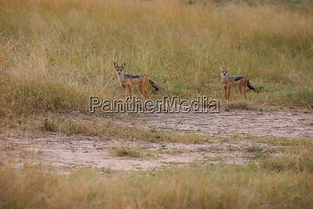 two black backed jackals in the