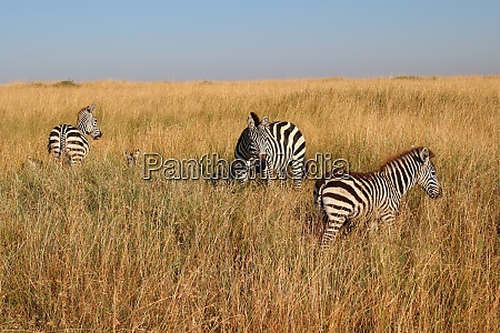 zebras in the high grass of