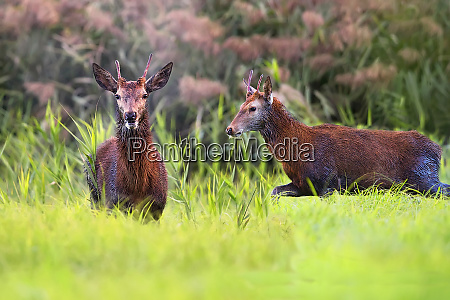 red deers in a clearing