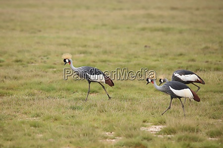 grey crowned cranes in amboseli national