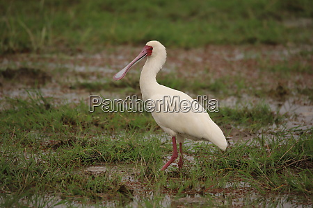 african spoonbill in the wetlands