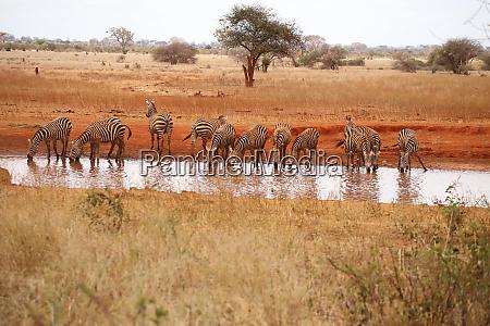 zebras, at, the, waterhole, in, ngutuni - 26897659