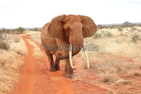 an elephant walks on dirt road