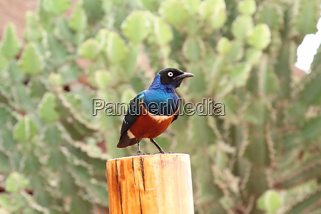 superb starling sits on a wooden