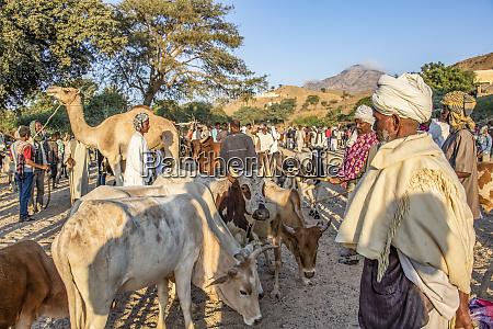 herder do gado de eritrean no