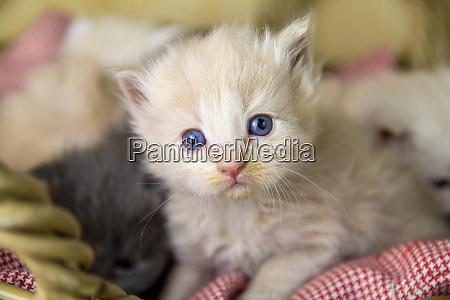 maine coon kitten 4 semanas de