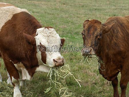 alimentacao do gado de corte