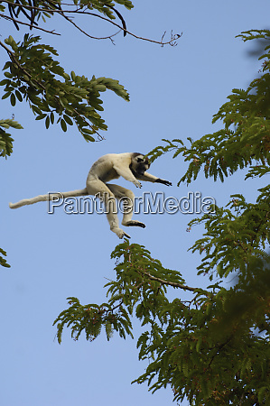 verreauxs sifaka propithecus verreauxi jumping across