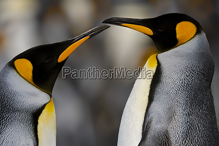 antarctica south georgia king penguin pair