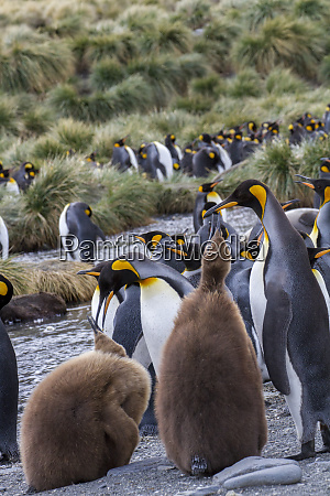 king penguin rookery on gold harbor