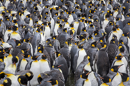 king penguin rookery at salisbury plain