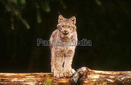 um lynx canadense em alerta enquanto