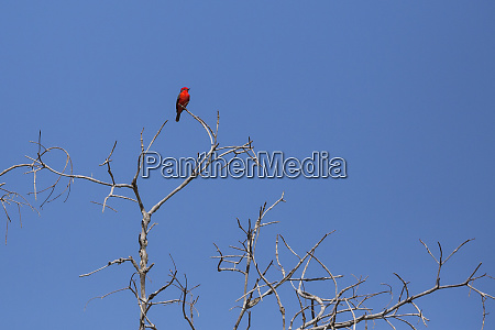 black necked red cotinga phoenicircus nigricollis