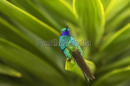 ecuador nono sparkling violet ear on