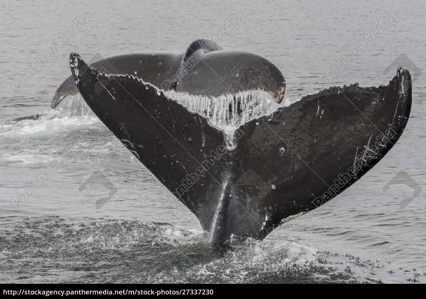 eua, alasca, floresta, nacional, de, tongass., baleias, jubarte - 27337230