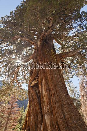 eua, califórnia, floresta, nacional, inyo., antiga, árvore, de - 27338340