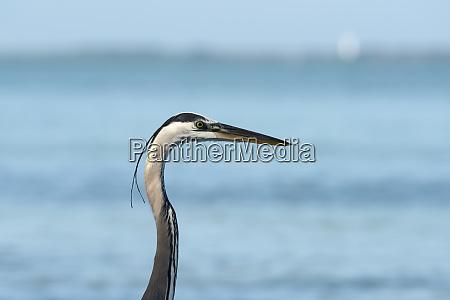 profile of great blue heron close