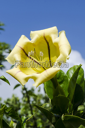 cup of gold solandra maxima na
