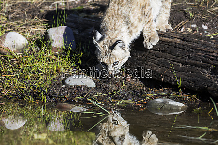 bobcat, reflection - 27342738