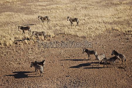 aerial view of zebras namib desert
