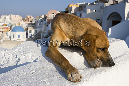 greece santorini thira oia cautious dog