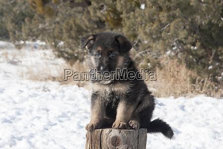 filhote de pastor alemao