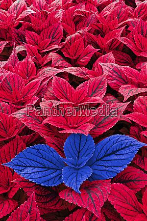 folhas vermelhas e azuis de coleus
