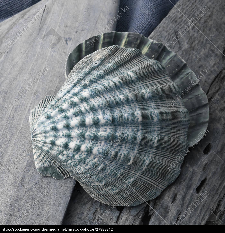 shell, natutical, ainda, vida. - 27888312