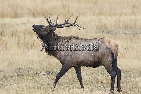 alce cervus canadensis touro cornetamento masculino