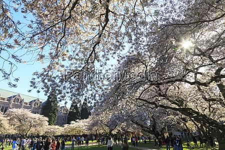 flores de cerejeira em plena floracao