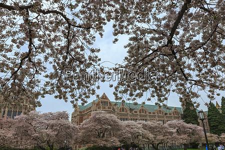 cerejeiras em plena floracao no campus