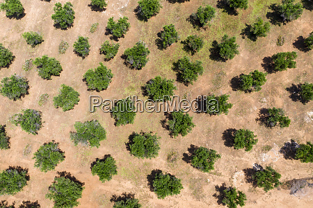 aerial view of olive grove during