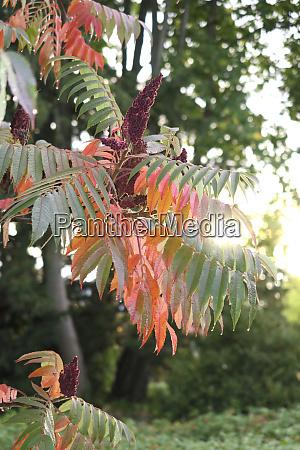 alemanha saxonia ramo de staghorn sumac