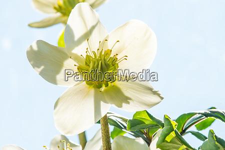florescendo hellebore erva medicinal com flor