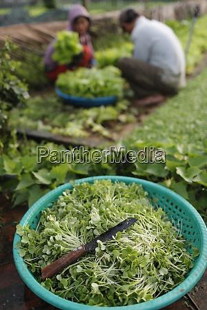 hortas organicas em tra que village