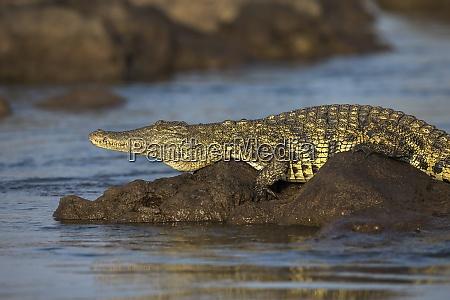 crocodilo do nilo crocodylus niloticus rio