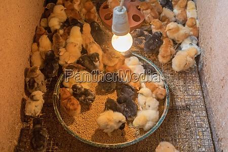 galinhas recem nascidas