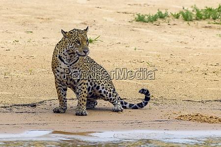 jaguar panthera onca matto grosso do