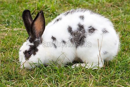 coelho manchado branco